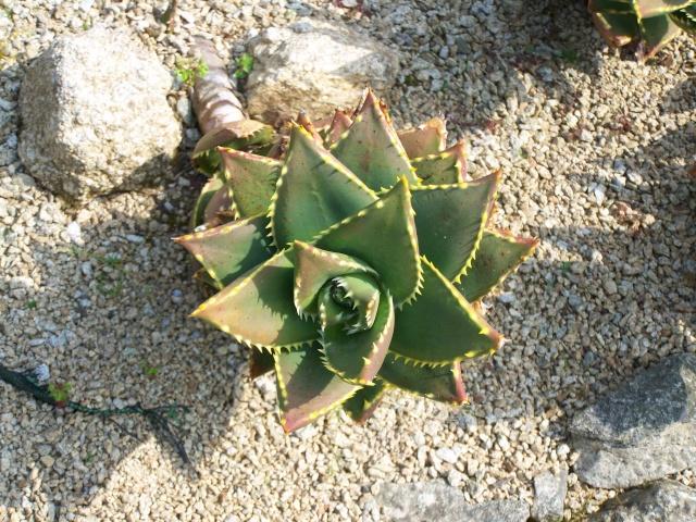 Aloe distans Aloe_d13