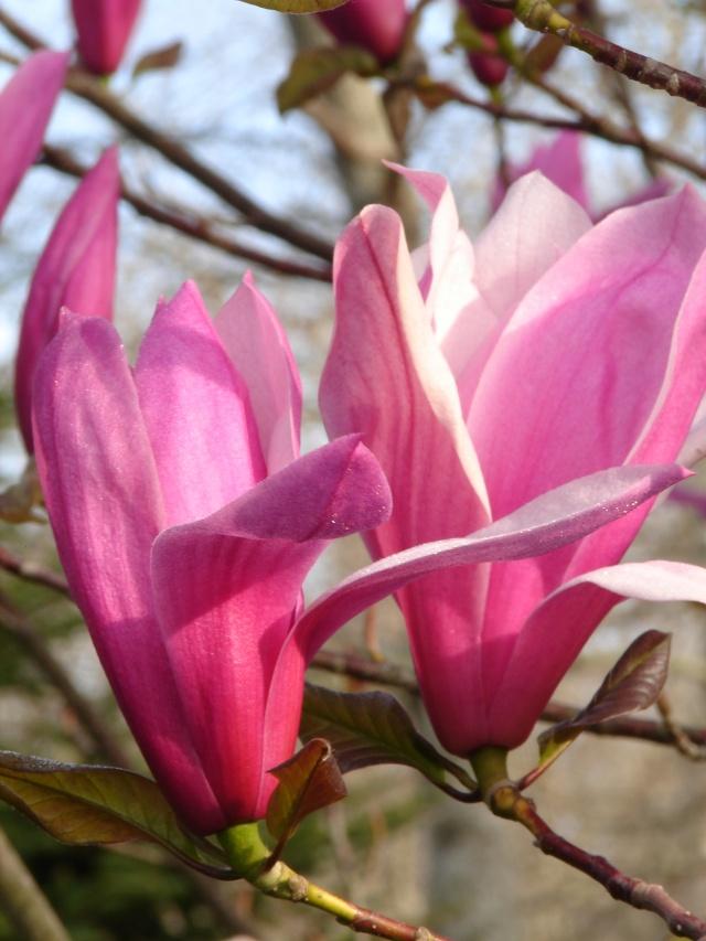 Magnolia liliiflora et hybrides Magnol13
