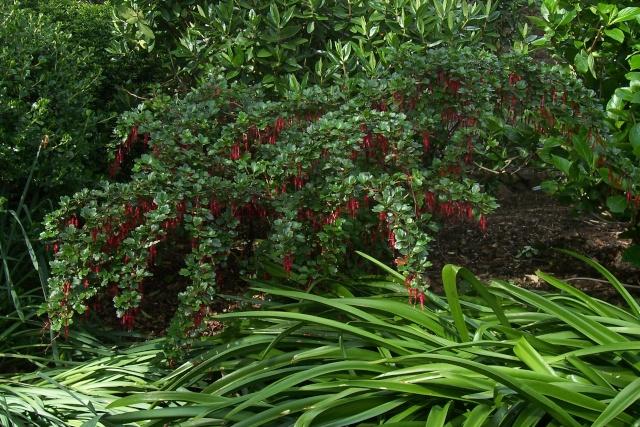 Ribes speciosum Ribes_11