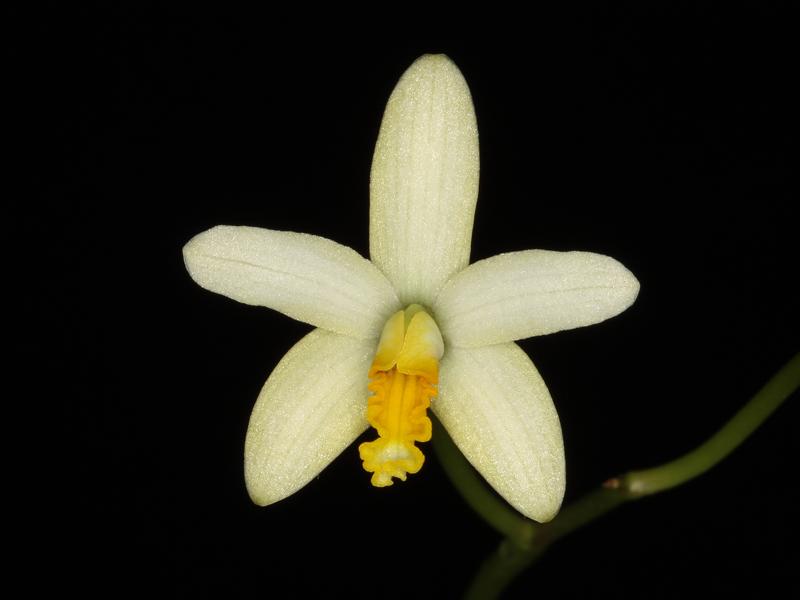Steinlaelie und Sektion harpophyllae - Seite 6 Laelia10