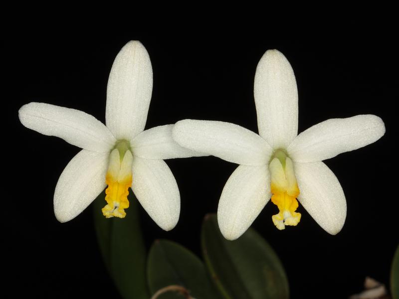 Steinlaelie und Sektion harpophyllae - Seite 6 Laelia15