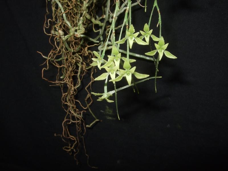 Mystacidium gracile Mystac10