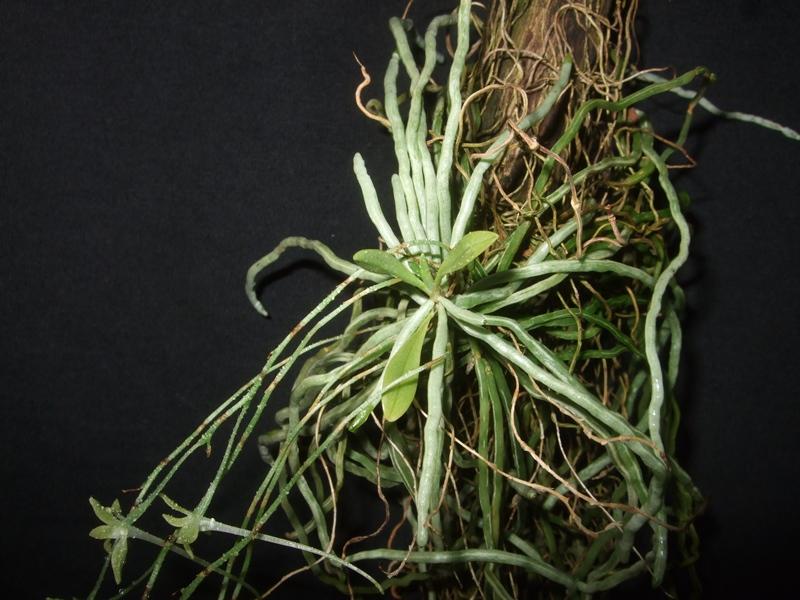 Mystacidium gracile Mystac11