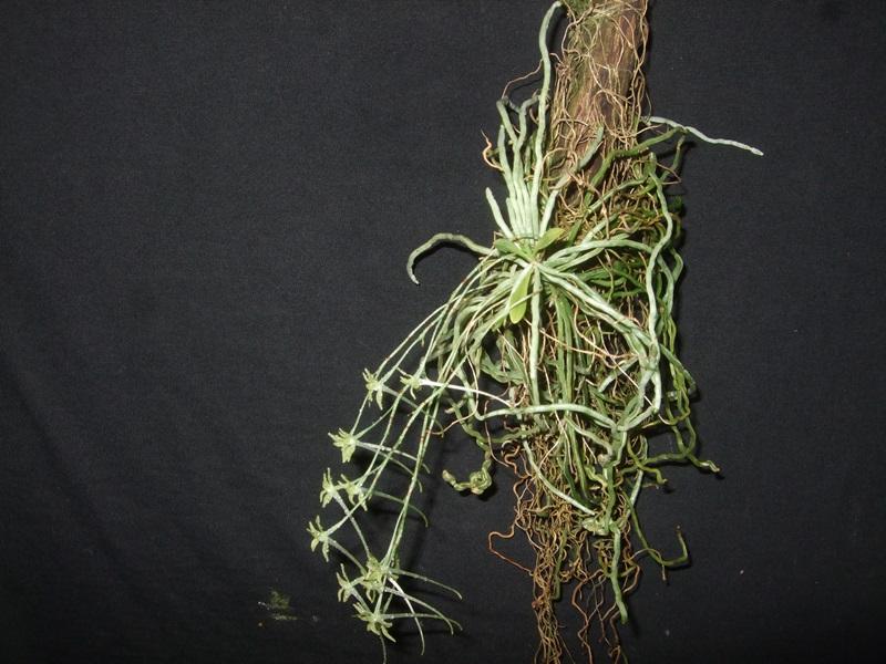 Mystacidium gracile Mystac12