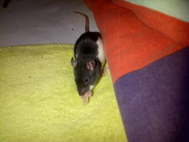 Sam, Dexter et Twitch, mes trois ratous  08-03-11