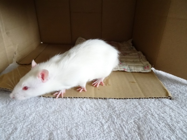 Sam, Dexter et Twitch, mes trois ratous  Dsc01814