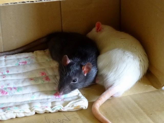 Sam, Dexter et Twitch, mes trois ratous  Dsc01913