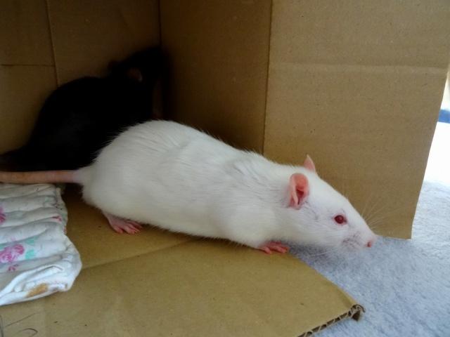 Sam, Dexter et Twitch, mes trois ratous  Dsc01915