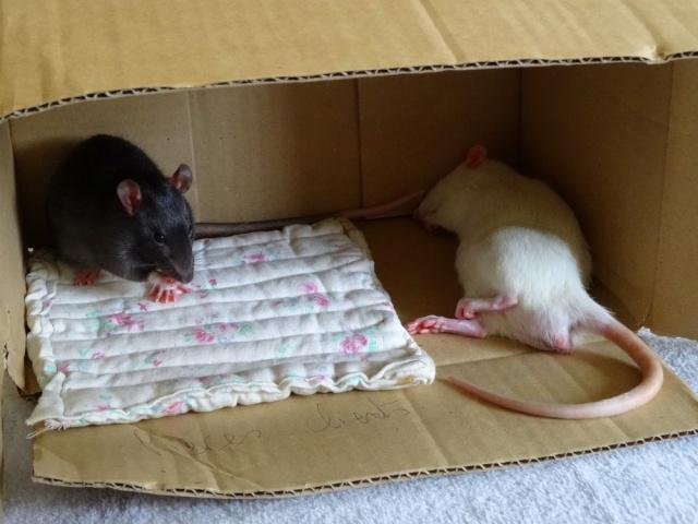 Sam, Dexter et Twitch, mes trois ratous  Dsc01916