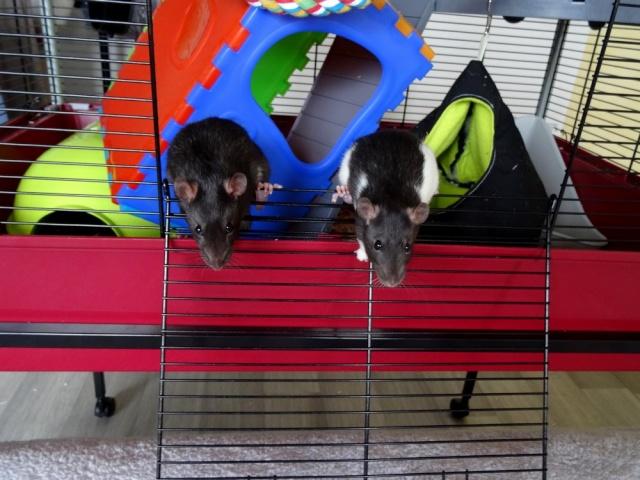 Sam, Dexter et Twitch, mes trois ratous  Dsc02012