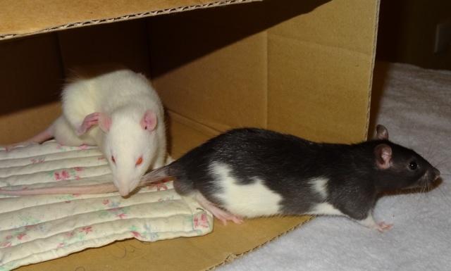 Sam, Dexter et Twitch, mes trois ratous  Dsc02110