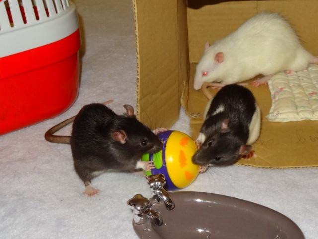 Sam, Dexter et Twitch, mes trois ratous  Dsc02419