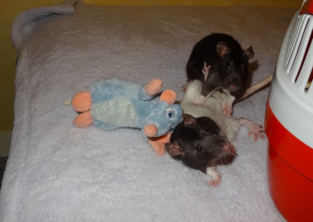 Sam, Dexter et Twitch, mes trois ratous  Dsc02516