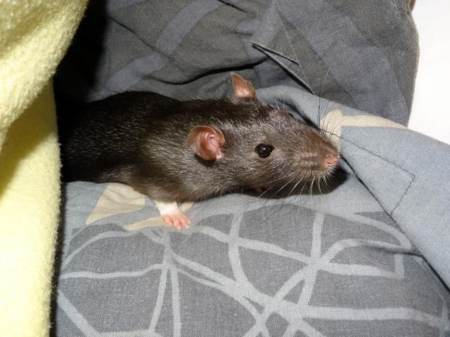 Sam, Dexter et Twitch, mes trois ratous  Dsc02613