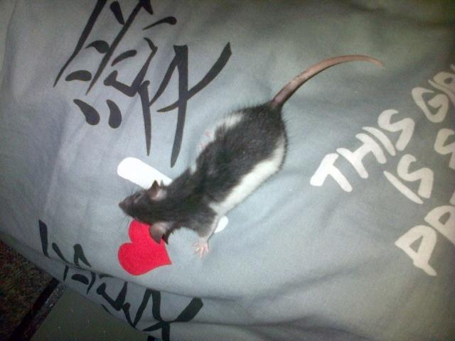 Sam, Dexter et Twitch, mes trois ratous  Vers_l14