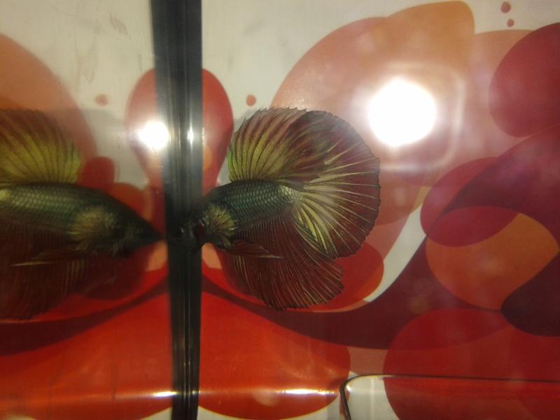 Repro f1 male HM et femelle SD (Problème de croissance) 20131135