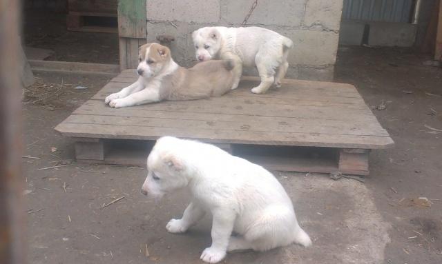 Продажа щенков среднеазиатской овчарки Imag0114