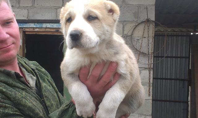 Продажа щенков среднеазиатской овчарки Imag0117