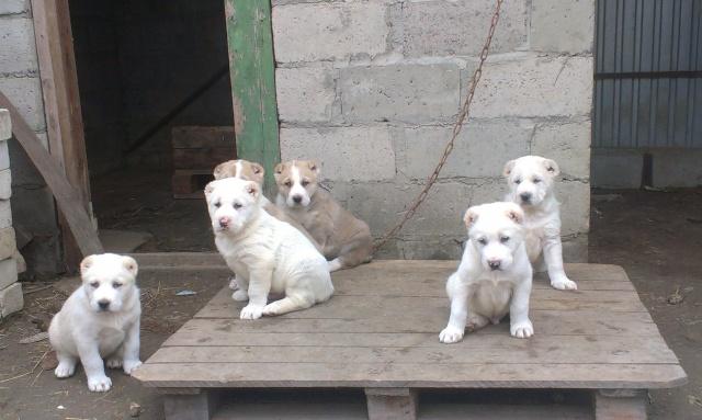 Продажа щенков среднеазиатской овчарки Imag0123