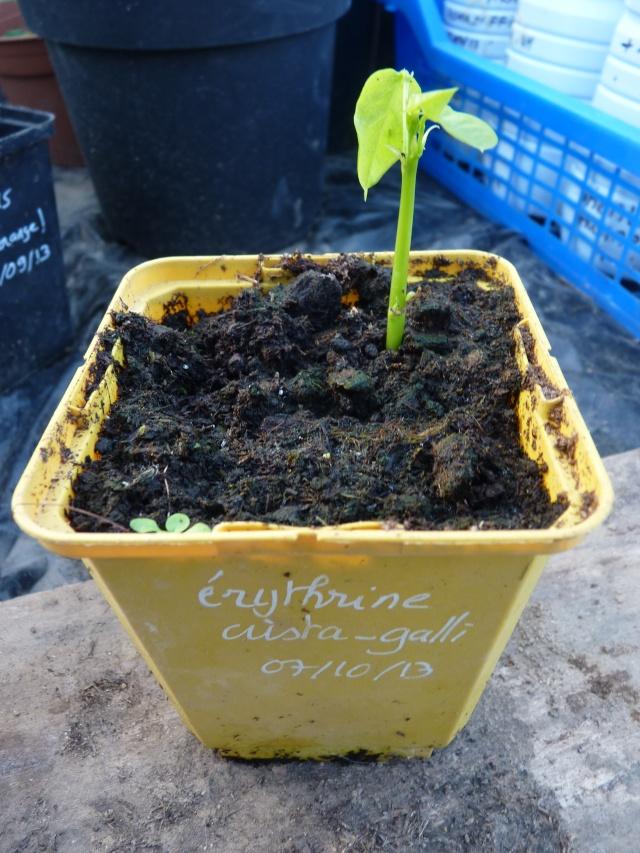 semis et culture d'erythrina crista galli - Page 2 P1060017