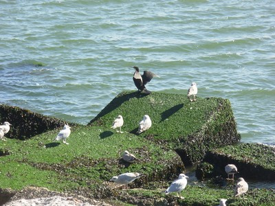 Ijmuiden (Hollande) Oiseau13