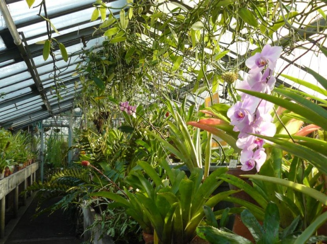 Vanilla planifolia - orchidée vanille 65465410