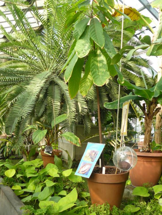 (Belgique) Serres du jardin botanique de Liège Cacao10