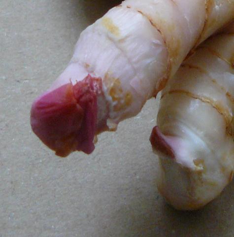 Alpinia officinarum (petit galanga) - rhizome [devinette] Cekoi10