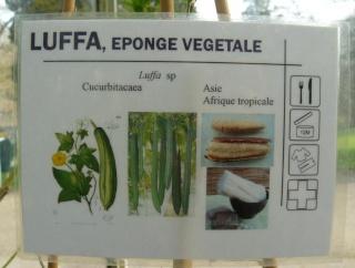 (Belgique) Serres du jardin botanique de Liège Luffa_10