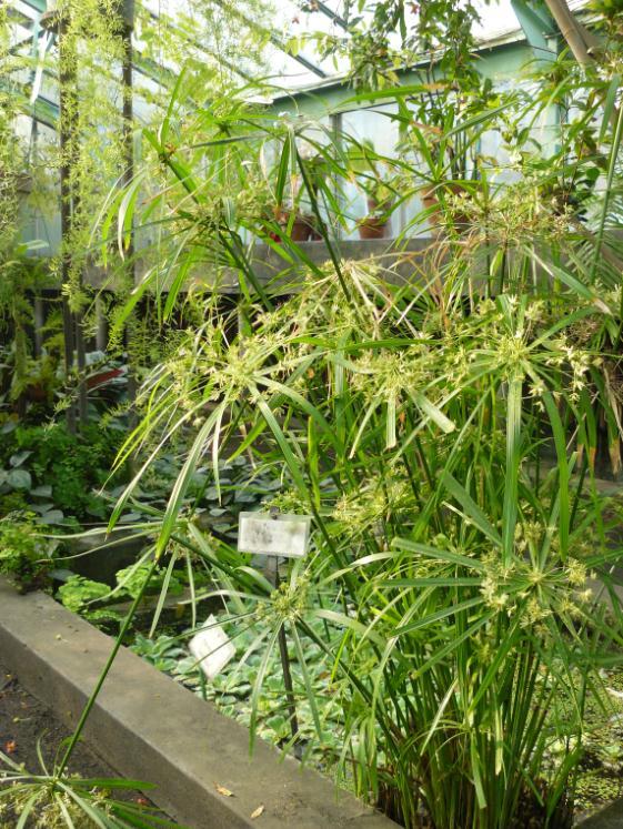 (Belgique) Serres du jardin botanique de Liège Papyr10