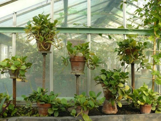 (Belgique) Serres du jardin botanique de Liège Pepero10