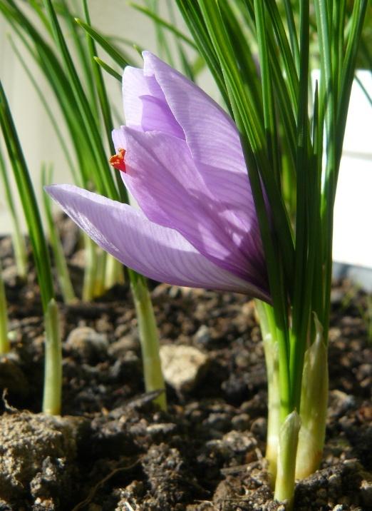 Crocus sativus - culture du vrai safran  - Page 2 Safran10