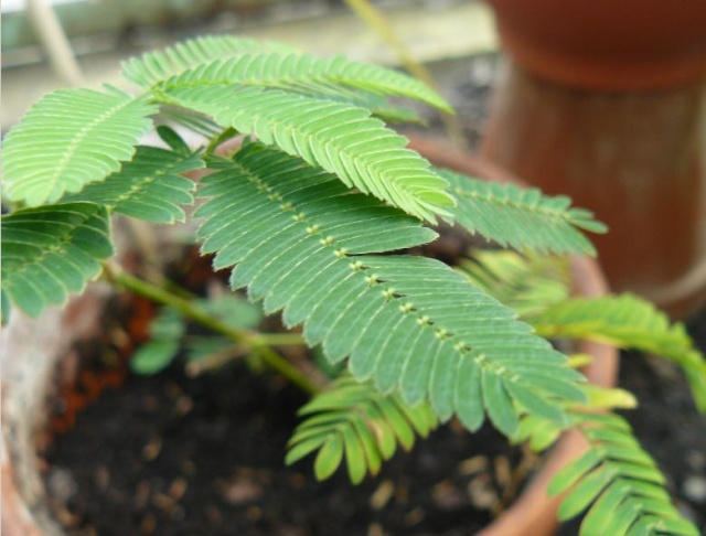 Mimosa pudica - sensitive Wgfdgf10
