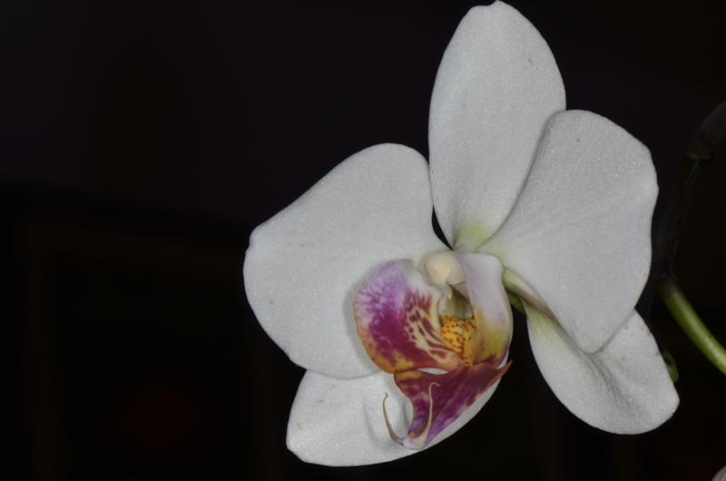 Orchideenblüten 2014 Phalae10