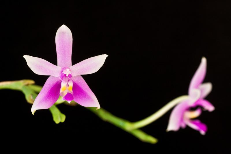 Phalaenopsis violacea var. Mentawei Phalae10