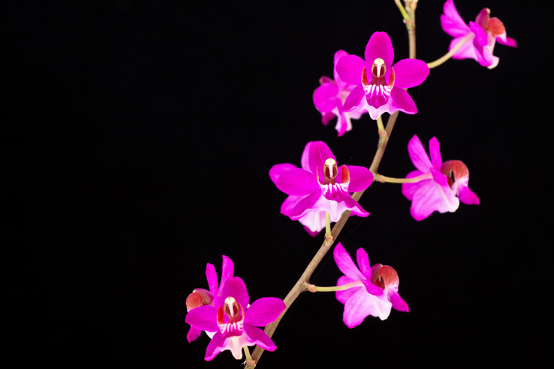 Phalaenopsis pulcherrima var. coerulea Phalae11