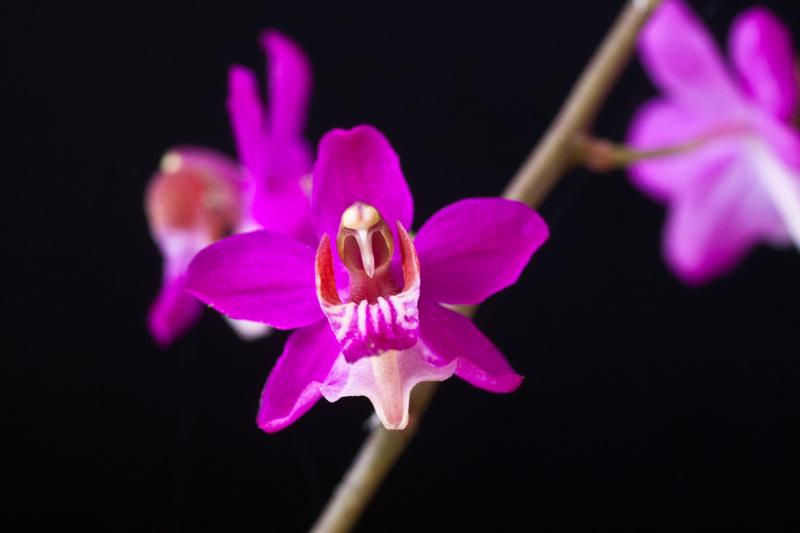 Phalaenopsis pulcherrima var. coerulea Phalae12