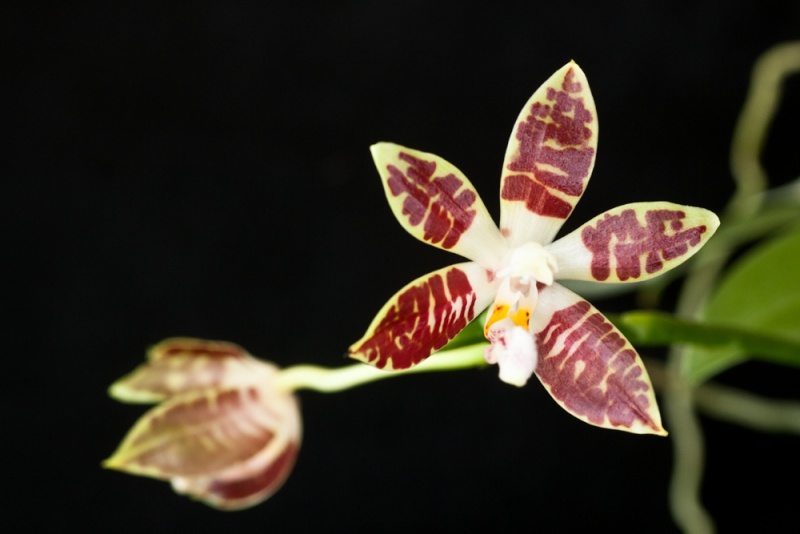 Phalaenopsis zebrina Phalae16