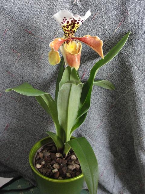 Orchidée Paphiopedilum ou sabot de venus Dsc00015