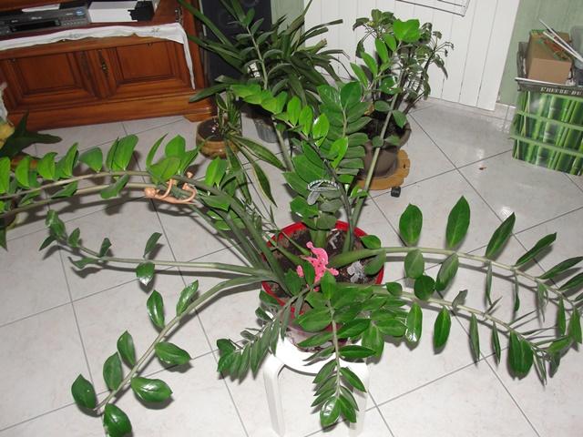 Zamioculcas zamiifolia Dsc00226