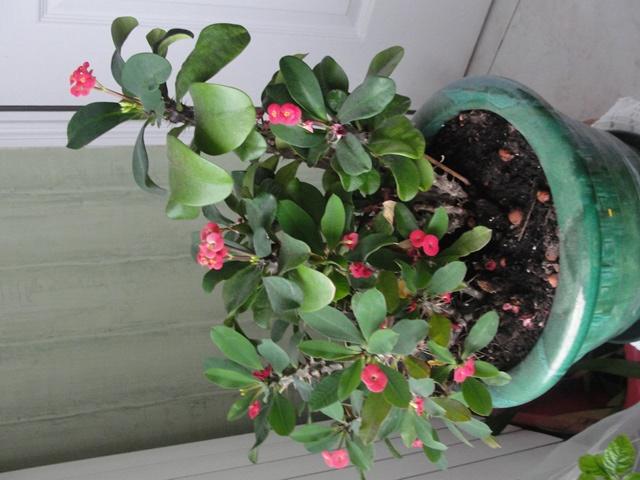 Euphorbia milii ou Epine du Christ Dsc00227