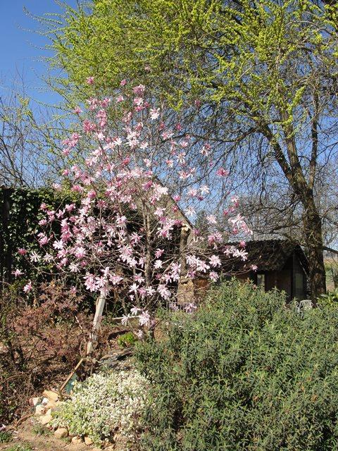 C'est quoi ? Magnolia stellata Dsc01025