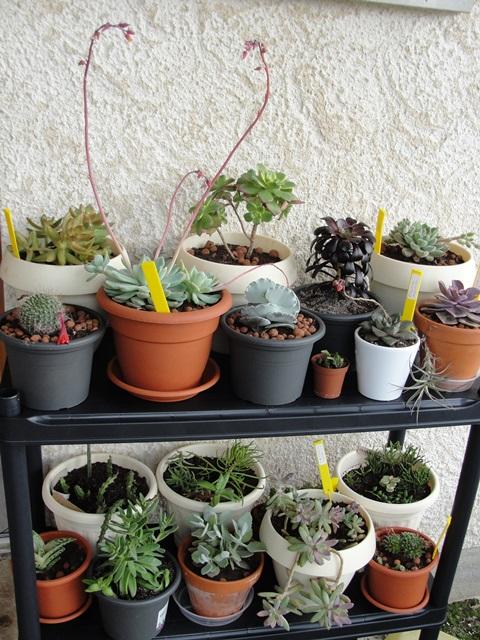 Démarrage d'une collection de plantes grasses et succulentes - Page 2 Dsc08010