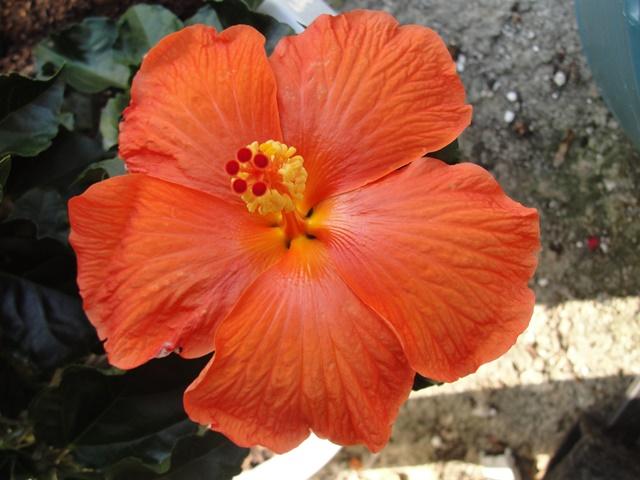 Hibiscus rosa sinensis - Page 8 Dsc08512