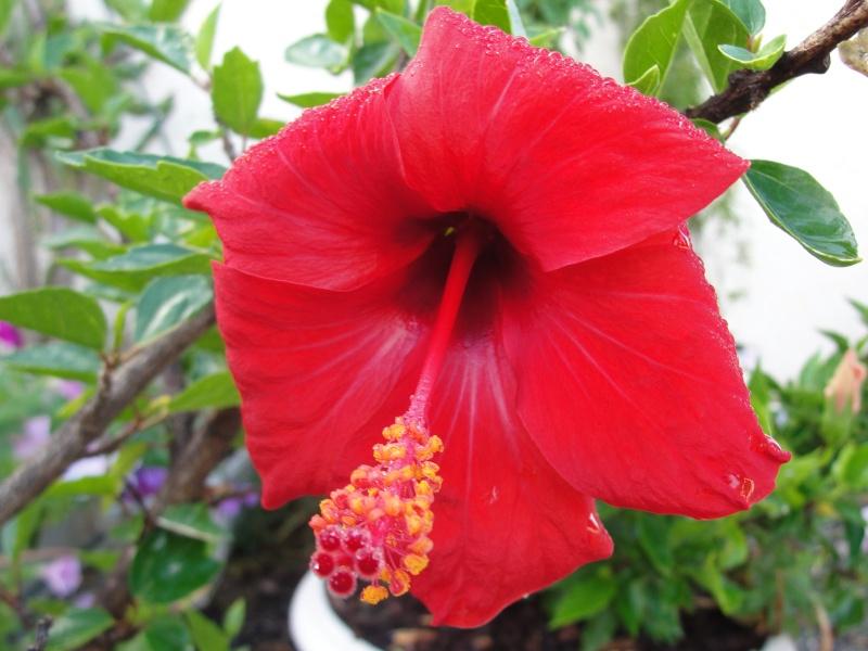 Hibiscus rosa sinensis - Page 8 Dsc08910
