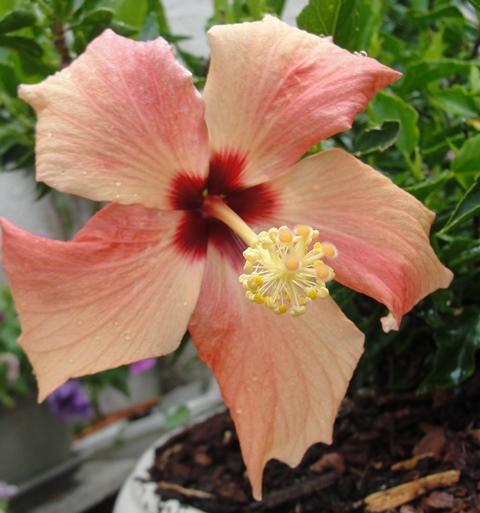 Hibiscus rosa sinensis - Page 8 Dsc09010
