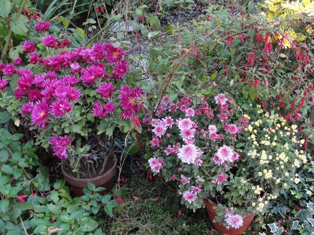 Chrysanthèmes  - Page 5 Dsc09412
