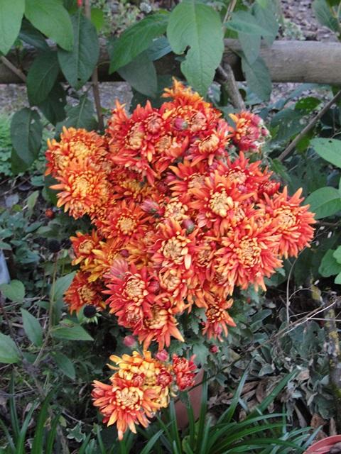Chrysanthèmes  - Page 5 Dsc09413