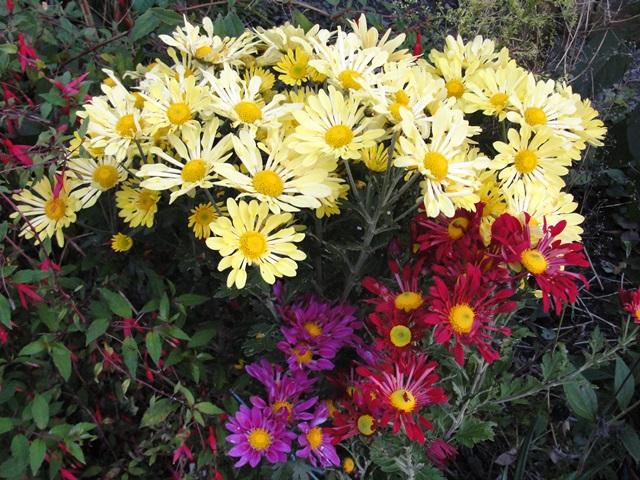 Chrysanthèmes  - Page 5 Dsc09415