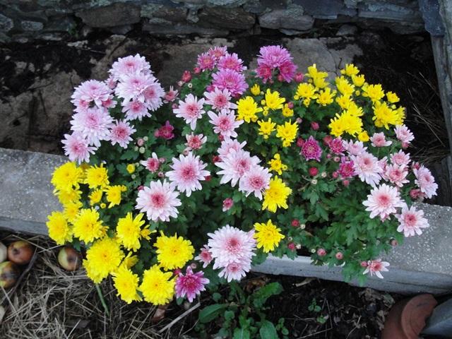 Chrysanthèmes  - Page 5 Dsc09417